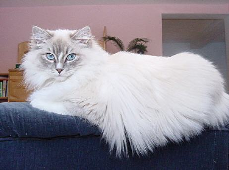 RAG Blue Tabby Mitted